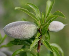 almondunripe