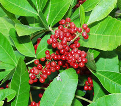 Brazilian peppercorns